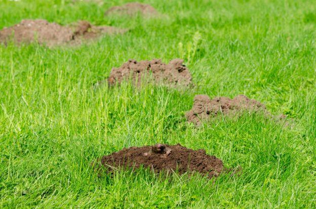 Problemi di talpe in giardino il trucco per sbarazzarvene è più