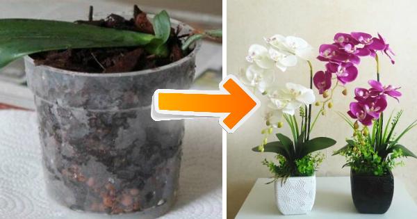 eccovi il segreto per far rifiorire un'orchidea